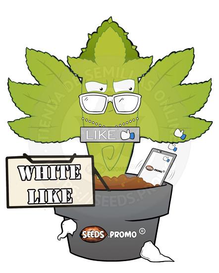 White Like-autofloreciente-pack-1-automatica-seeds.promo-lasemillaautomatica
